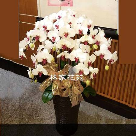 B026蝴蝶蘭組合盆栽開幕落成賀禮、喬遷、祝賀盆栽追思花禮