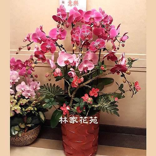 B027蝴蝶蘭組合盆栽開幕落成賀禮、喬遷、祝賀盆栽
