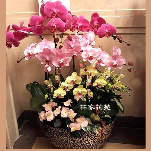 B028蝴蝶蘭組合盆栽開幕落成賀禮、喬遷、祝賀盆栽