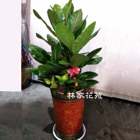 D012觀葉盆栽喬遷之喜榮陞誌喜盆栽開幕賀禮