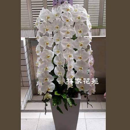 B033蝴蝶蘭組合盆栽開幕落成賀禮、喬遷、祝賀盆栽追思花禮