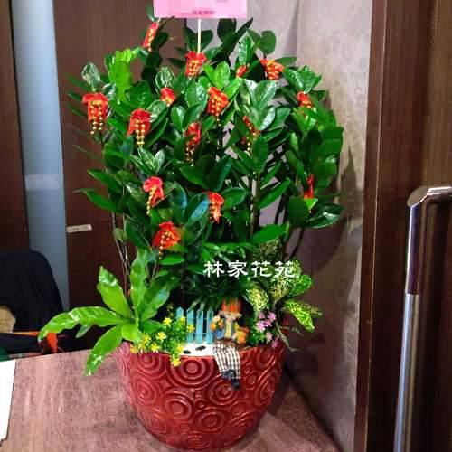 D018金錢樹組合盆栽開幕落成賀禮、喬遷、祝賀盆栽