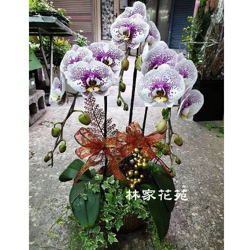 B034蝴蝶蘭組合盆栽開幕落成賀禮、喬遷、祝賀盆栽