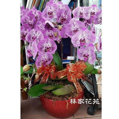 B036蝴蝶蘭組合盆栽開幕落成賀禮、喬遷、祝賀盆栽