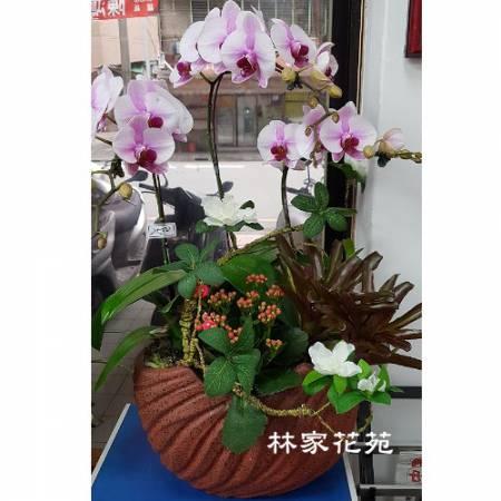 B037蝴蝶蘭組合盆栽開幕落成賀禮、喬遷、祝賀盆栽