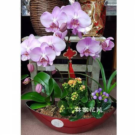 B038蝴蝶蘭組合盆栽開幕落成賀禮、喬遷、祝賀盆栽