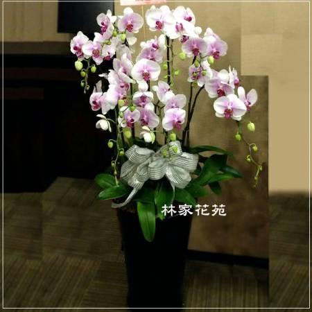 B001蝴蝶蘭組合盆栽開幕落成賀禮、喬遷、祝賀盆栽追思花禮