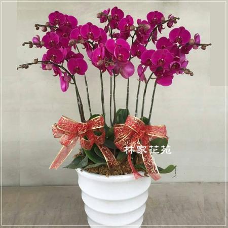 B002蝴蝶蘭組合盆栽開幕落成賀禮、喬遷、祝賀盆栽