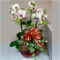 B003蝴蝶蘭組合盆栽開幕落成賀禮、喬遷、祝賀盆栽