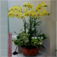 B005蝴蝶蘭組合盆栽開幕落成賀禮、喬遷、祝賀盆栽