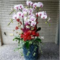 B007蝴蝶蘭組合盆栽開幕落成賀禮、喬遷、祝賀盆栽