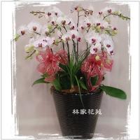 B008蝴蝶蘭組合盆栽開幕落成賀禮、喬遷、祝賀盆栽