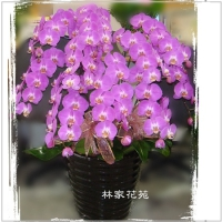 B009蝴蝶蘭組合盆栽開幕落成賀禮、喬遷、祝賀盆栽