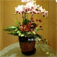 B011蝴蝶蘭組合盆栽開幕落成賀禮、喬遷、祝賀盆栽