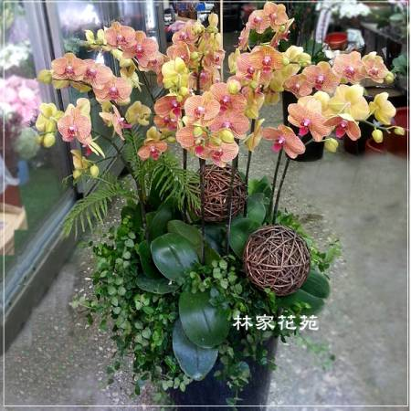 B014蝴蝶蘭組合盆栽開幕落成賀禮、喬遷、祝賀盆栽