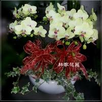 B015蝴蝶蘭組合盆栽開幕落成賀禮、喬遷、祝賀盆栽