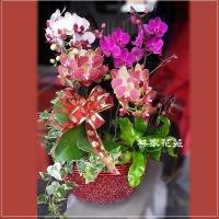 B016蝴蝶蘭組合盆栽開幕落成賀禮、喬遷、祝賀盆栽