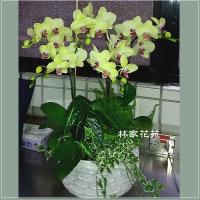 B017蝴蝶蘭組合盆栽開幕落成賀禮、喬遷、祝賀盆栽