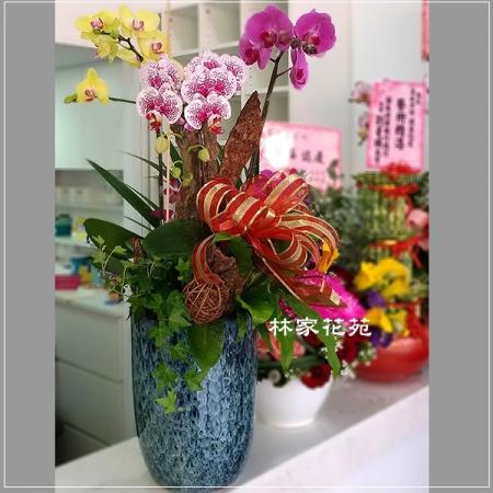B018蝴蝶蘭組合盆栽開幕落成賀禮、喬遷、祝賀盆栽