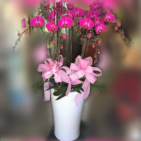 E014蘭花組合盆栽(可依場合不同調整緞帶顏色)請來電洽詢