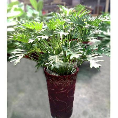 F032大型盆栽觀葉植物「龜背竹」喬遷之喜榮陞誌喜盆栽喜慶盆栽