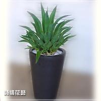T001綠色盆栽龍舌蘭精緻盆栽喬遷之喜榮陞誌喜盆栽