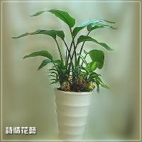 T002白花天堂鳥精緻盆栽喬遷之喜榮陞誌喜盆栽