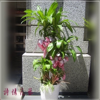 T003巴西鐵樹精緻盆栽喬遷之喜榮陞誌喜盆栽