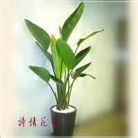 T006白花天堂鳥精緻盆栽喬遷之喜榮陞誌喜盆栽