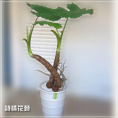 T007姑婆芋精緻盆栽喬遷之喜榮陞誌喜盆栽