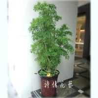 T016羽葉福祿桐(富貴樹)喬遷之喜榮陞誌喜盆栽