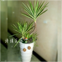 T017尤加樹綠色盆栽祝賀盆栽喜慶送禮盆栽新竹實體網路花店