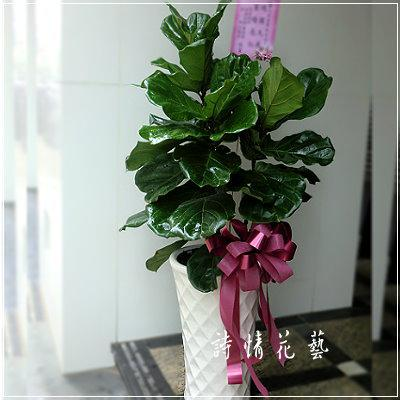T018琴葉榕綠色盆栽祝賀盆栽喜慶送禮盆栽新竹實體網路花店