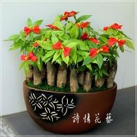 T019馬拉巴栗(發財樹)綠色盆栽祝賀盆栽喜慶送禮盆栽