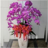 E043蝴蝶蘭組合盆栽祝賀盆栽喜慶花禮年節送禮