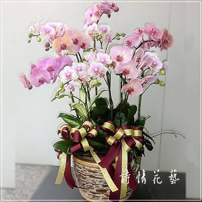 E044蝴蝶蘭組合盆栽祝賀盆栽喜慶花禮年節送禮