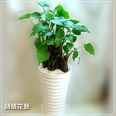 T023佛手蓮綠色盆栽喬遷之喜榮陞誌喜盆栽
