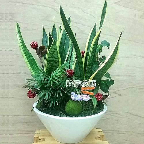 T028虎尾蘭組合盆栽喬遷之喜榮陞誌喜盆栽