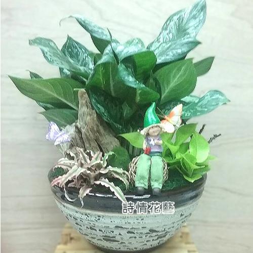 T029黑美人觀葉植物組合盆栽喬遷之喜榮陞誌喜盆栽