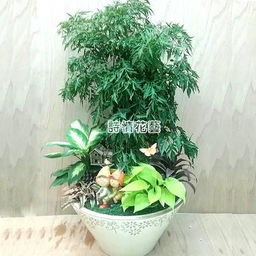 T035富貴樹(福祿桐)喬遷之喜榮陞誌喜盆栽