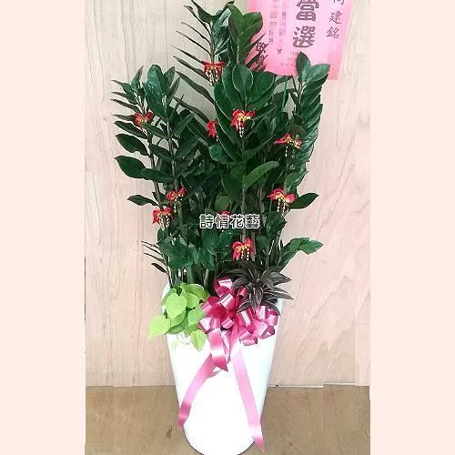 T038金錢樹組合盆栽喬遷之喜榮陞誌喜盆栽