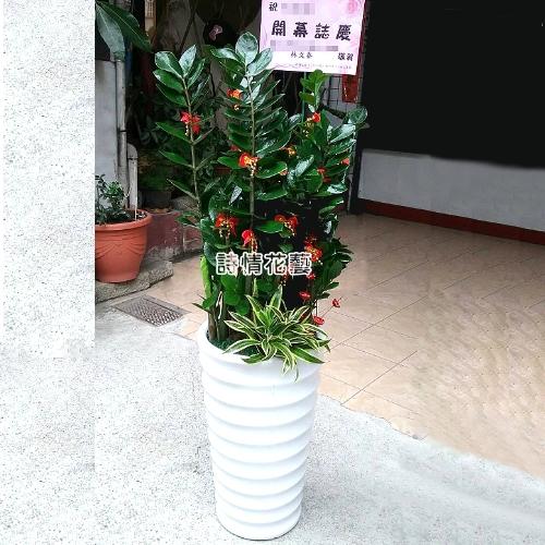 T043金錢樹組合盆栽喬遷之喜榮陞誌喜盆栽參展成功