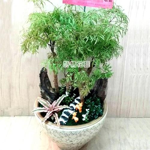 T045富貴樹(福祿桐)喬遷之喜榮陞誌喜盆栽