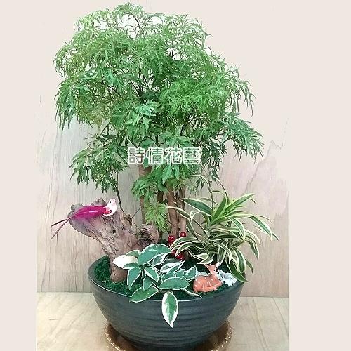 T050富貴樹(福祿桐)喬遷之喜榮陞誌喜盆栽