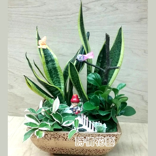 T052虎尾蘭組合盆栽喬遷之喜榮陞誌喜盆栽