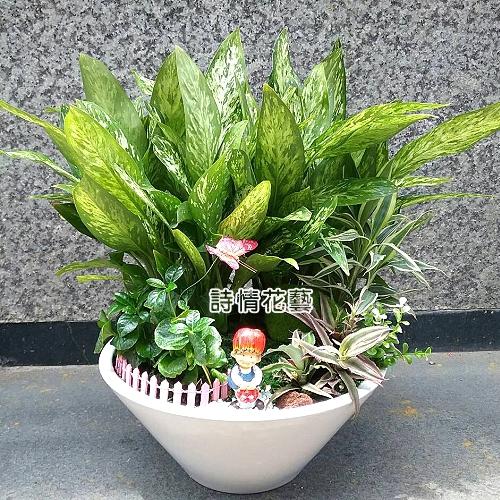 T055觀葉組合盆栽開幕喬遷之喜榮陞誌喜盆栽