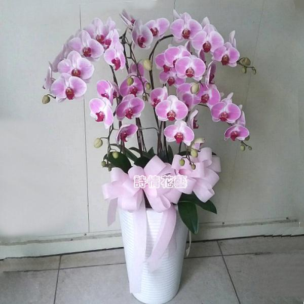 E053高雅蘭花祝賀蘭花喜慶蘭花開幕喬遷盆栽