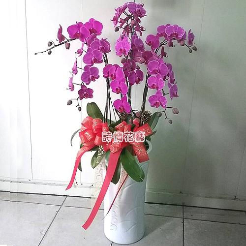 E054高雅蘭花祝賀蘭花喜慶蘭花開幕喬遷盆栽