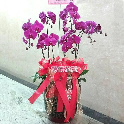 E057高雅蘭花祝賀蘭花喜慶蘭花開幕喬遷盆栽