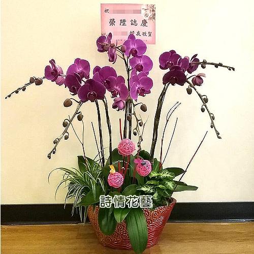 E059高雅蘭花祝賀蘭花喜慶蘭花開幕喬遷盆栽